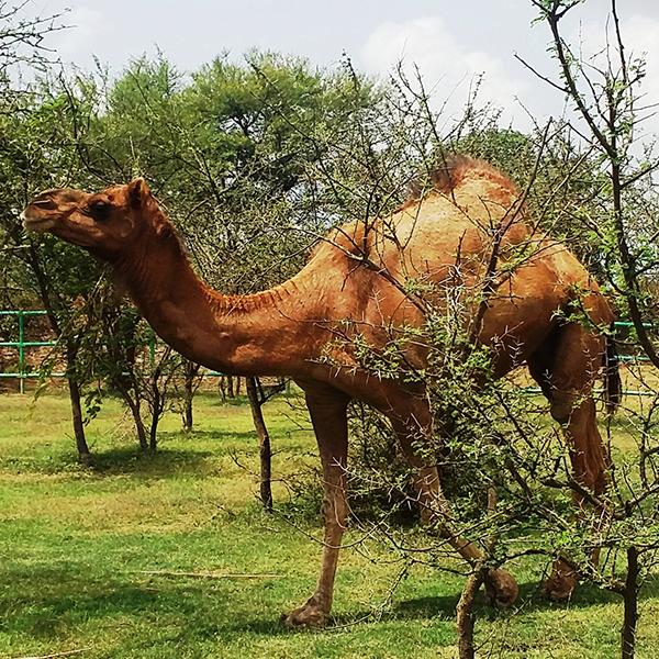 Sponsor a Camel